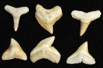 Group of Pale Yellow Bone Valley Teeth