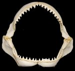 BARGAIN Bull Shark Jaw