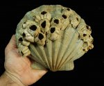 Very Fine, Large Fossil Scallop Shell with Attached Barnacles