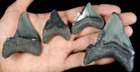 Group of Self Inflicted Bite Damaged Megalodon Teeth