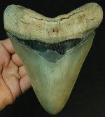 Massive Golden Beach Megalodon -- nearly 6 inches.