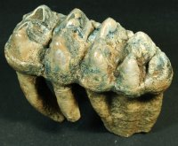 The Finest Most Colorful Mastodon Tooth