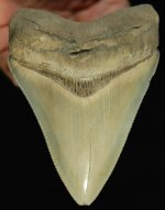 Lee Creek Megalodon Shark Tooth