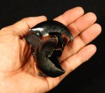Rare Giant Humboldt Squid Beak