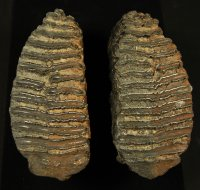 Exceptional Pair of Associated Mammoth Teeth FL
