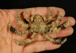 Dried Crab Taxidermy Decorator Crab