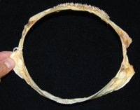 Very RARE Pacific Sleeper Shark Jaw