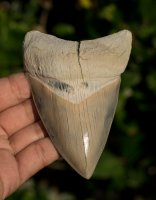 Superb Lee Creek Megalodon Shark Tooth