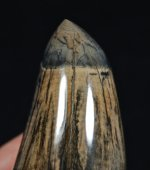 Gorgeous Polished Fossil Whale Tooth