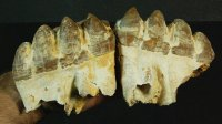Finest Bone Valley Gomphothere Tooth Set