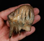 Baby Columbian Mammoth Tooth