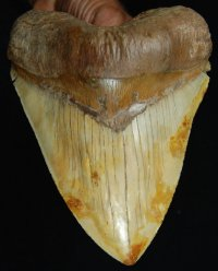 Large Chilean Megalodon Shark Tooth
