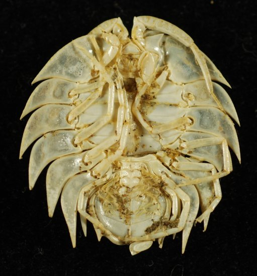 Very Rare 'Living Trilobite' Serolis Isopod - Click Image to Close