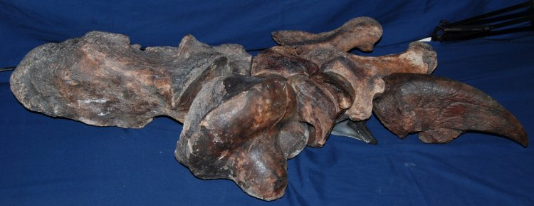 Eremotherium Giant Sloth Foot - Click Image to Close