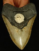 North Carolina Atlantic Megalodon with Coral