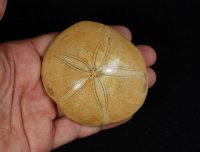 Polished Fossil Sea Biscuit Madagascar
