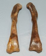Associated Pair of Alligator Femurs