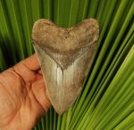 Large St. Mary's River Megalodon Shark Tooth