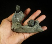 Finest Infant Mammoth Jaw Venice Florida