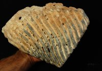 Fine Fossil Mammoth Tooth Venice Florida