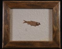 Framed Knightia Wyoming Fossil Fish