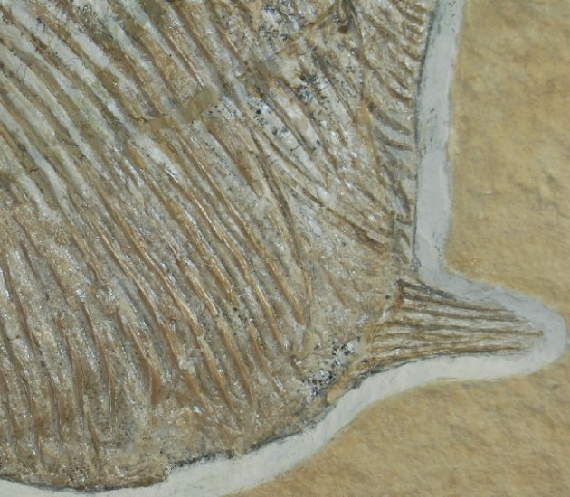Stunning Solnhofen Jurassic Gyrodus Fossil Fish - Click Image to Close