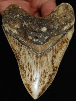 Rare, Quality New Caledonia Megalodon Shark Tooth