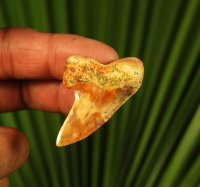 Colorful Bakersfield Mako Shark Tooth