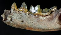 Excellent Fossil Otter Jaw