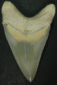"Massive 5"" GEM Bone Valley Megalodon"
