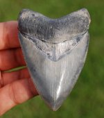 Awesome Heart Shaped Venice Land Found Megalodon