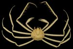 XLarge Dried Spider Crab