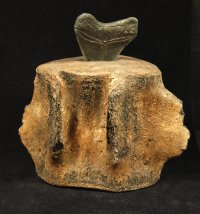 Large Megalodon Tooth in Whale Vertebra Display