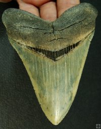 Quality Serrated Megalodon Shark Tooth