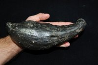 Absolutely Massive Fossil Whale Tooth
