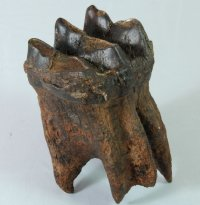 Fine Fossil Mastodon Tooth with Amazing Root Structure