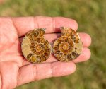 Attractive Madagascar Ammonite