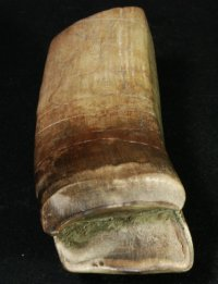 Rare Giant Sloth Tooth from Leisey Shell Pit, FL