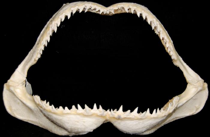 Rare, Large Great Hammerhead Shark Jaw [SJCAR-HAMM-04 ...
