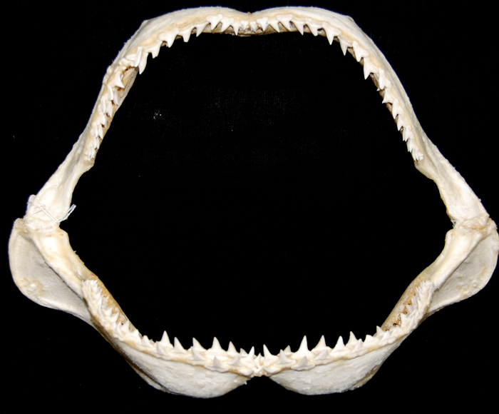 Rare, Large Great Hammerhead Shark Jaw [SJCAR-HAMM-05 ...