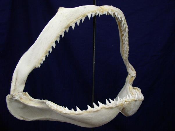 Great Hammerhead [SJCAR-HAMM-01] : Fossils Online, your ...