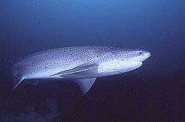 bluntnose-sixgill-shark-teeth